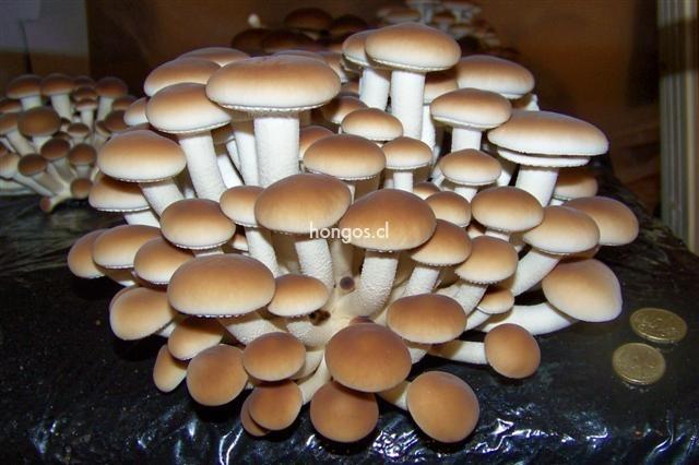Agrocybe aegerita hongos de chile - Como cocinar las setas ...