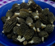 Morchella conica