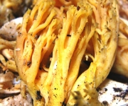Ramaria flava